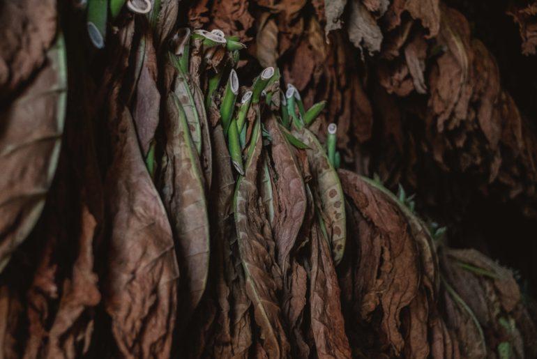 Tobacco curing in Cuba